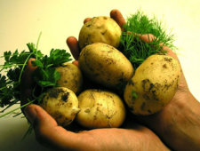 Ziemniaki źródłem węglowodanów