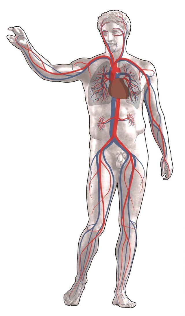 Układ krwionośny człowieka