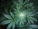 Uzależnienie od marihuany