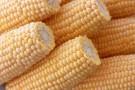 Wady i zalety GMO