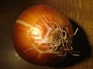 Właściwości lecznicze cebuli