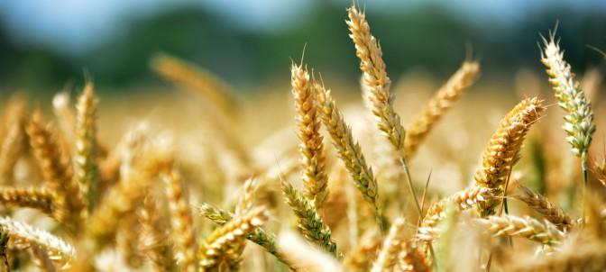 wheat-368867-1920_d3f0.jpg